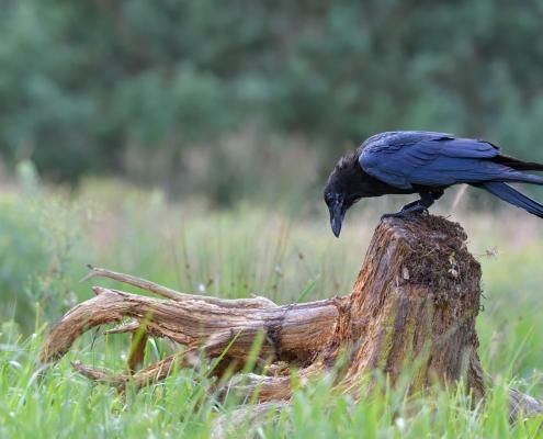 Common raven, Corvus corax, Kruk zwyczajny, bird dark bird black bird of prey wildlife tree root trunk bole branch nature photography puszcza wkrzńska rezerwat świdwie Artur Rydzewski