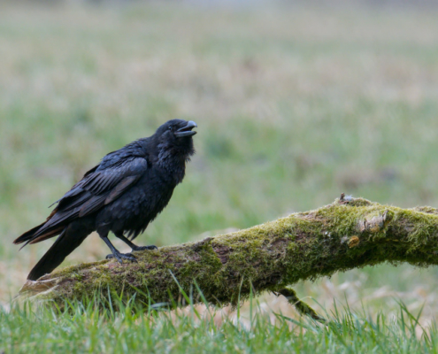 Bird of prey Common raven crow bird, black bird, wildlife nature photography, branch