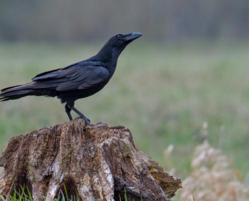 Bird of prey Common raven crow