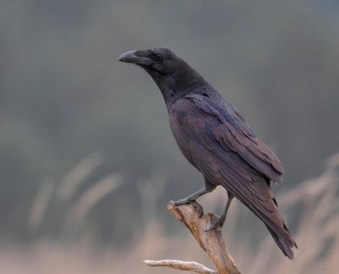 Bird of prey, common raven, crow, corvus corax, kruk, Nature photography, wildlife, bird standing on branch, black bird, wildlife, black bird, Puszcza Wkrzańska, Artur Rydzewski