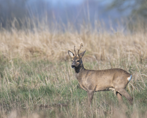 Roe-deer animal close up, nature photography, wildlife