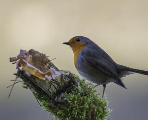 Robin bird, European Robin, Erithacus rubecula, orange bird, sunrise, wildlife nature photography