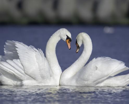 Mute swan water bird, white bird, bird, blue background