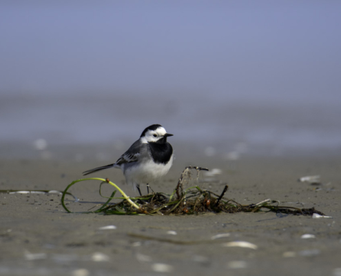 White wagtail, Motacilla alba, small grey bird, beach water sand, nature photography, wildlife