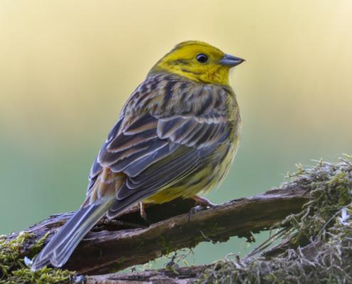 Yellowhammer bird, Emberiza citrinella, yellow bird, wildlife nature photography, close up, moss branch, close up