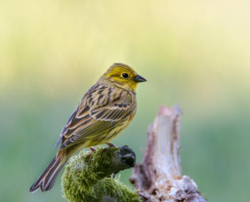 Yellowhammer bird, Emberiza citrinella, yellow bird, wildlife nature photography, close up, moss branch