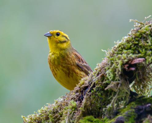 Yellowhammer bird, moss, green backgound, yellow bird, wildlife nature photography