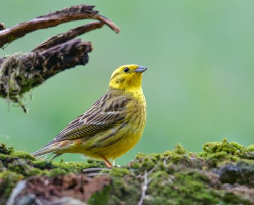 Yellowhammer bird, moss, green backgound, yellow bird