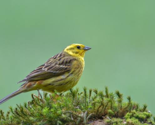 Yellowhammer bird, moss, green backgound