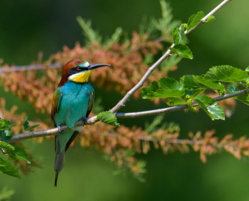 Fullcolor bird bee-eater on tree branch,