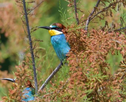 Fullcolor european bee-eater bird on tree branch