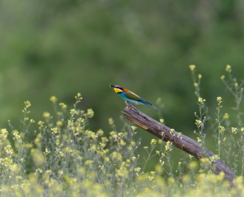 bird eating insect, bird with insect, European bee-eater birds, fullcolor birds, Merops apiaster, wildlife nature photography, green background, yellow flowers