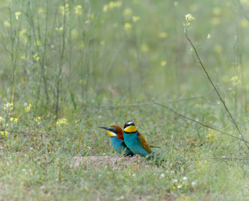European bee-eater birds, fullcolor birds, Merops apiaster, wildlife nature photography, green background, flowers