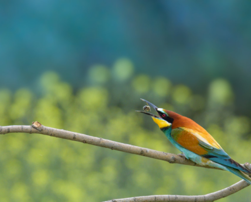 bird eating bee, bird eating insect, European bee-eater birds, fullcolor birds, Merops apiaster, wildlife nature photography