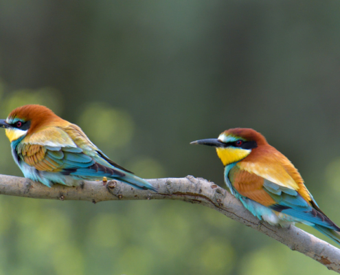 European bee-eater birds, fullcolor birds, Merops apiaster, wildlife nature photography, green background