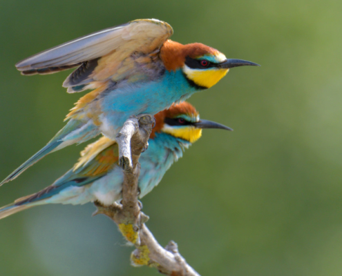 European bee-eater birds, fullcolor birds, Merops apiaster, wildlife nature photography, wings, green background