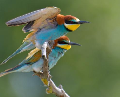 European bee-eater birds, fullcolor birds, Merops apiaster, wildlife nature photography, wings, green background