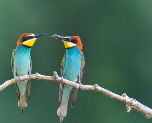 European bee-eater birds eating bee, insect, wildlife nature photography, green background fullcolour bird
