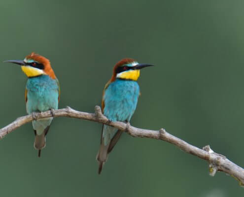 European bee-eater, Merops apiaster, Żołna, colors, colourfull birds, blue, green birds
