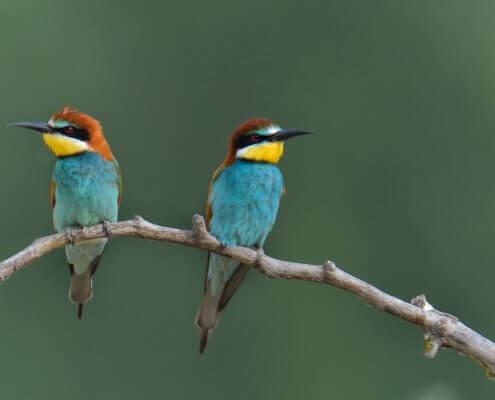 European bee-eater, Merops apiaster, Żołna, colors, colourfull birds, blue, green birds