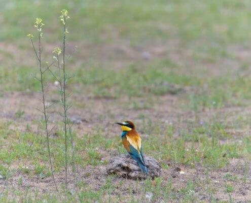European bee-eater, Merops apiaster, Żołna, colors, colourfull bird, blue, green, yellow, brown, orange bird