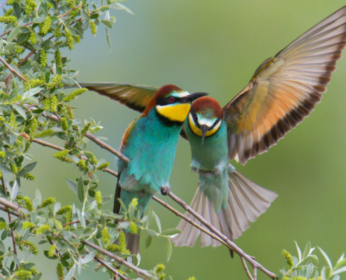 European bee-eater birds, fullcolor birds, Merops apiaster, wildlife nature photography, wings