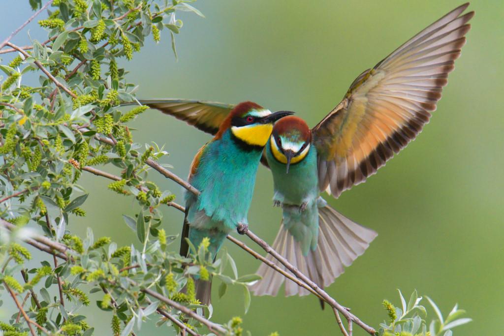 European bee-eater birds, fullcolor birds, Merops apiaster, wildlife nature photography, wings