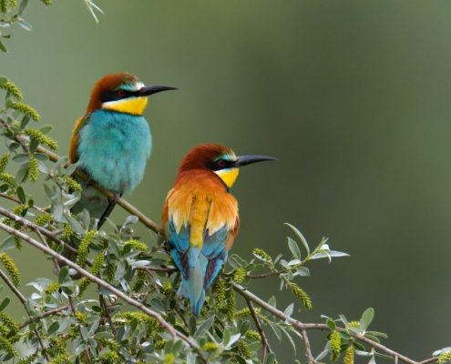 European bee-eater bird on the branche in Kerkini lake, birds