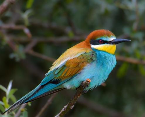 Bee-eater bird, European bee-eater, Merops apiaster, Żołna, fullcolour bird