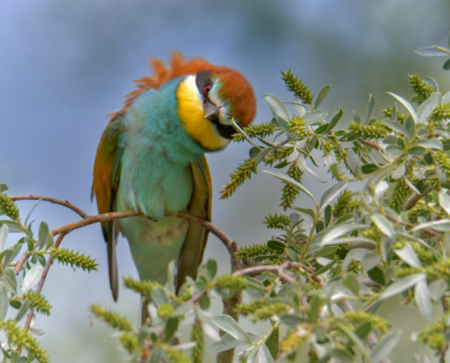 European bee-eater birds, fullcolor birds, Merops apiaster, wildlife nature photography