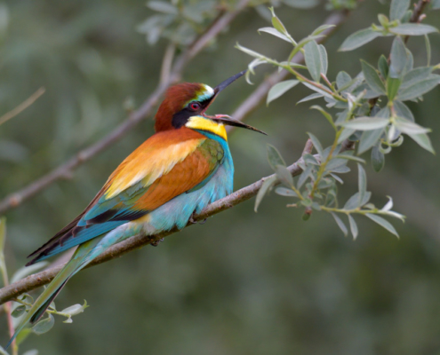Singing bee-eater bird, European bee-eater birds, fullcolor birds, Merops apiaster, wildlife nature photography