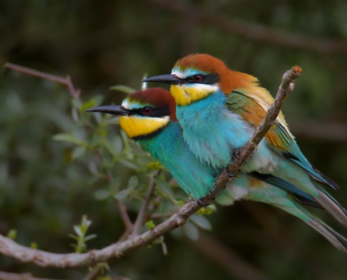 Bee-eater birds, Fullcolor birds, colors, bird, European bee-eater, Merops apiaster