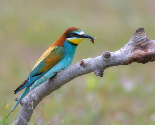 Bee-eater bird, fullcolor bird bee-eater with bee in his beak, European bee-eater, Merops apiaster, Żołna, bird