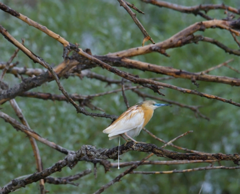 bird, bird, orange bird, Ardeola ralloides, Squacco heron, lake Kerkini, wildlife nature photography, blue beak, green background, orange bird on tree, shit, making shit