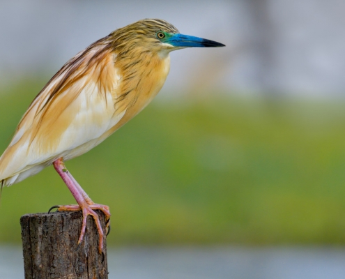 bird, bird, orange bird, Ardeola ralloides, Squacco heron, lake Kerkini, wildlife nature photography, blue beak, green background