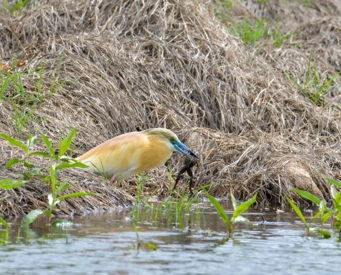 Squacco heron bird eating frog