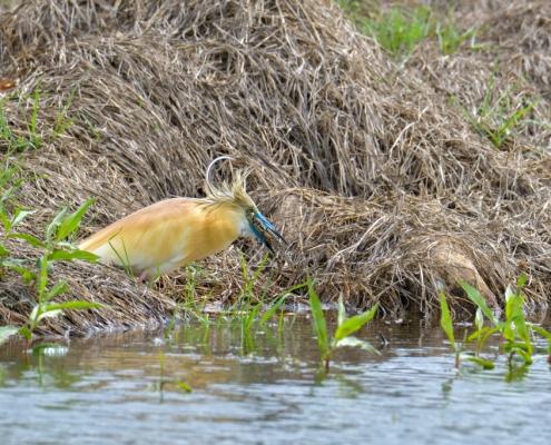 Squacco heron bird eating frog, Squacco heron Ardeola ralloides, Czapla modronosa, wildlife nature photography