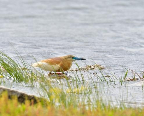 Flying squacco heron bird, bird, bird, orange bird, Ardeola ralloides, Squacco heron, lake Kerkini, wildlife nature photography, blue beak