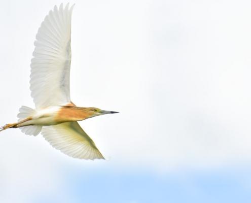 Flying squacco heron bird, bird, bird, orange bird, Ardeola ralloides, Squacco heron, lake Kerkini, wildlife nature photography, blue beak, blue background, white background