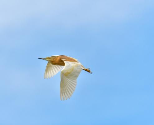 Flying squacco heron bird