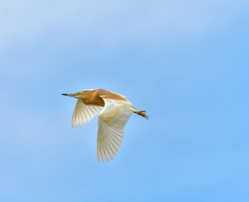 Flying squacco heron bird, bird, bird, orange bird, Ardeola ralloides, Squacco heron, lake Kerkini, wildlife nature photography, blue beak, blue background