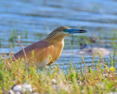 bird, orange bird, Ardeola ralloides, Squacco heron, lake Kerkini, wildlife nature photography, clos up, blue beak