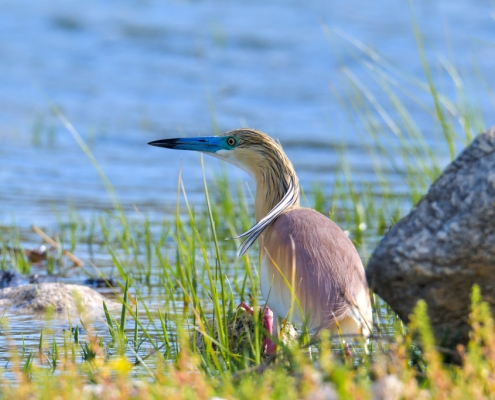 bird, orange bird, Ardeola ralloides, Squacco heron, lake Kerkini, wildlife nature photography, close up