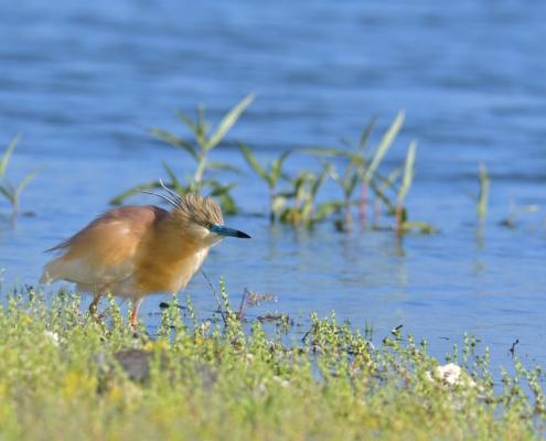 bird, orange bird, Ardeola ralloides, Squacco heron, lake Kerkini, wildlife nature photography