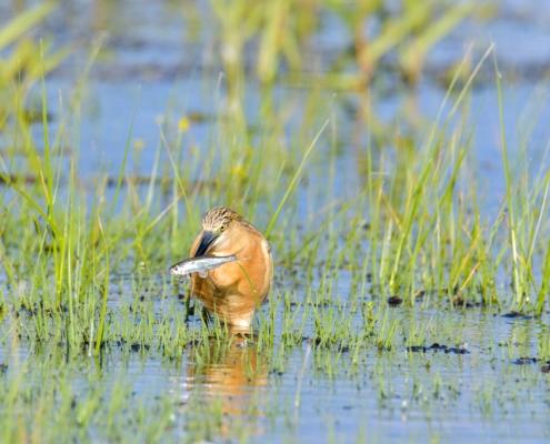 bird, fish, orange bird, Ardeola ralloides, Squacco heron with hunted fish in his beak in lake Kerkini, wildlife nature photography
