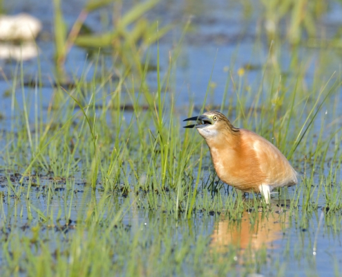 Ardeola ralloides, Squacco heron with hunted fish in his beak in lake Kerkini, wildlife nature photography