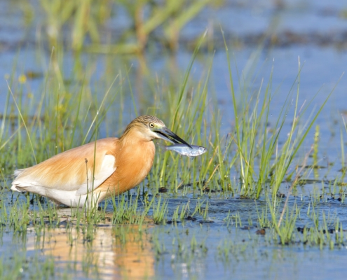 Squacco heron bird with hunted fish, bird, orange bird, Ardeola ralloides, Squacco heron, lake Kerkini, wildlife nature photography, blue beak