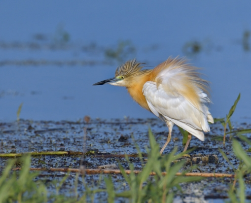 bird, orange bird, Ardeola ralloides, Squacco heron, lake Kerkini, wildlife nature photography, blue beak