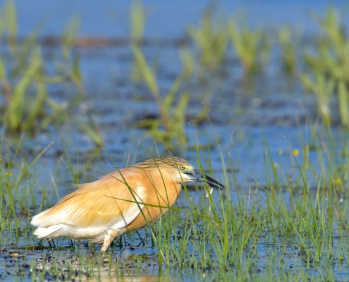 Squacco heron bird with hunted fish, bird, orange bird, Ardeola ralloides, Squacco heron, lake Kerkini, wildlife nature photography, blue beak