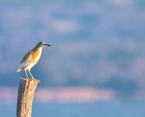 Squacco heron bird in flowers, bird, bird, orange bird, Ardeola ralloides, Squacco heron, lake Kerkini, wildlife nature photography, blue beak, blue background